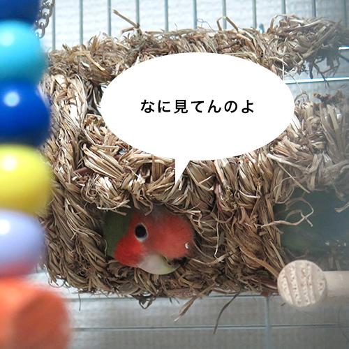 コザクラインコの寝相が変03