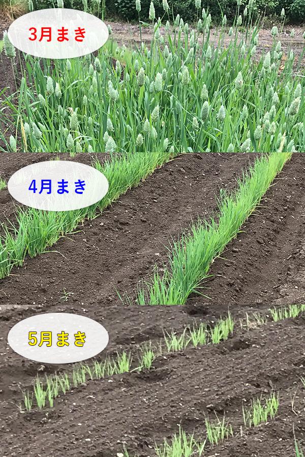 播種時期による生長の違い