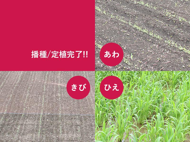 あわ・ひえ・きび播種/定植完了!!